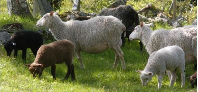 fårkötta